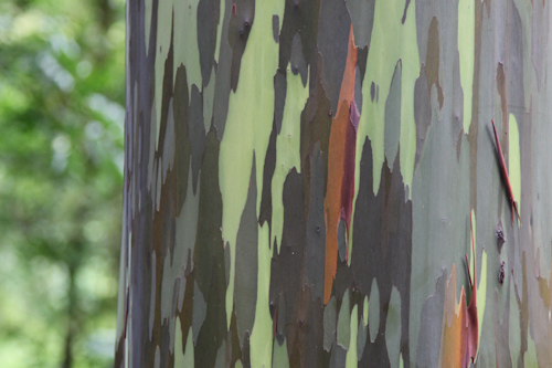 Rainbow Eucalyptus Tree. They looked like they were out of a Dr. Seuss book. 