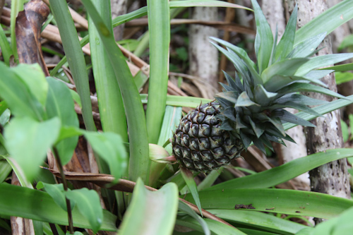 a random pineapple plant that I found on our hike. jpg