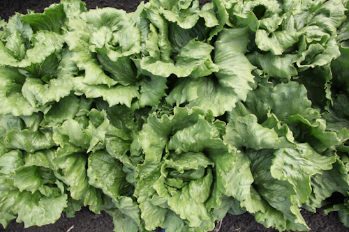 Iceberg Heads of Lettuce from Tanimura &amp; Antle Farm. jpg