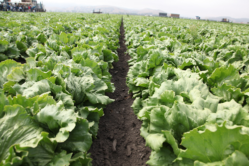 Iceberg lettuce field at Tanimura & Antle Farm. jpg