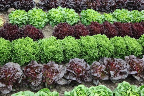 Rows of Artisan Lettuce from Tanimura &amp; Antle Farm. jpg