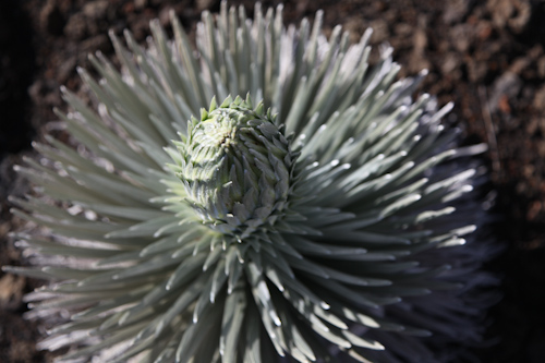 The silvery green plant is starting to flower here. jpg