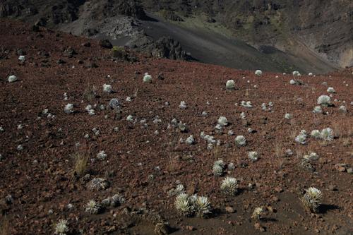 Silverswords plants spot the alien landscape of Mt. Haleakala. jpg