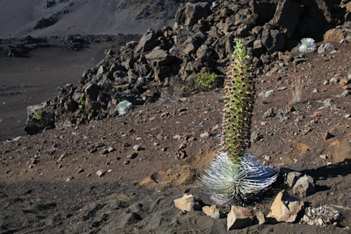 After what could be 50 years, this plant has flowered and will soon die. jpg