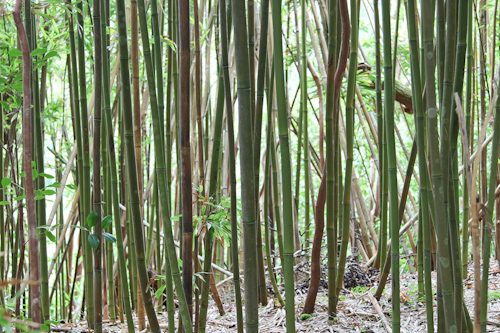 Bamboo growing near our trail.