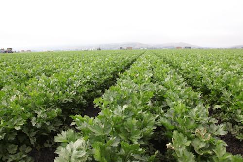 Never ending field of celery. jpg