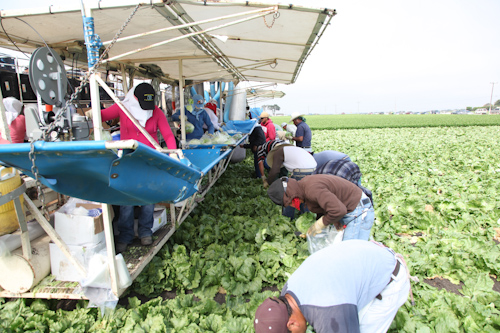 Farm workers harvesting iceberg lettuce. jpg