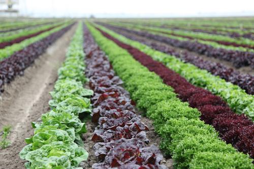 Artisan Lettuce being grown at Tanimura & Antle Farms. jpg