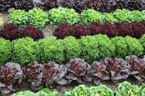 Rows of Artisan Lettuce from Tanimura & Antle Farm. jpg