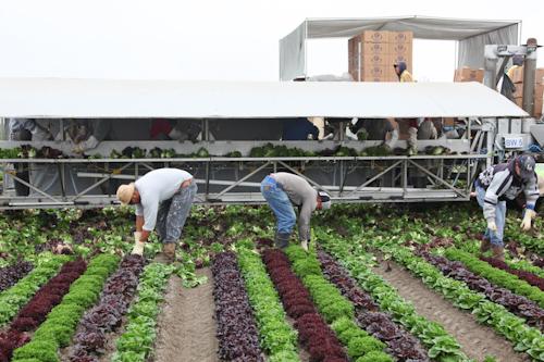 Field workers working the artisan lettuce field. jpg