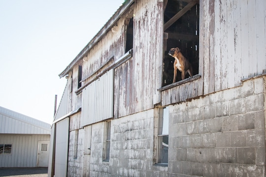 Dog looking out in Amish Farm In Ohio