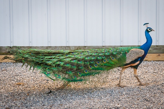 Peacock-at-Amish-Country-Antiques-Shop