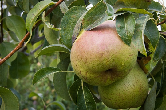 Royal Riviera Pears growing on the tree at the Harry & David Farm in Medford, Oregon. Photo by Irvin Lin of Eat the Love.