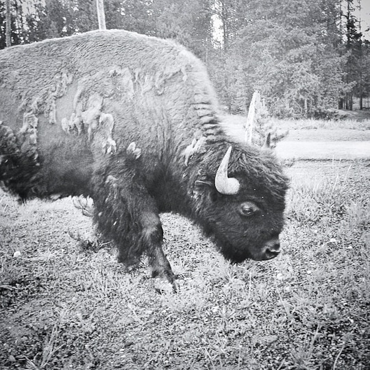Bison in Yellowstone National Park. Photo by Irvin Lin of Eat the Love. www.eatthelove.com