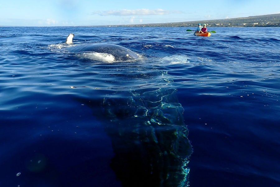 Not AJ! This happened on someone else's kayak trip but I had to share it because it's so awesome! (Photo courtesy of Maui Kayak Adventures)