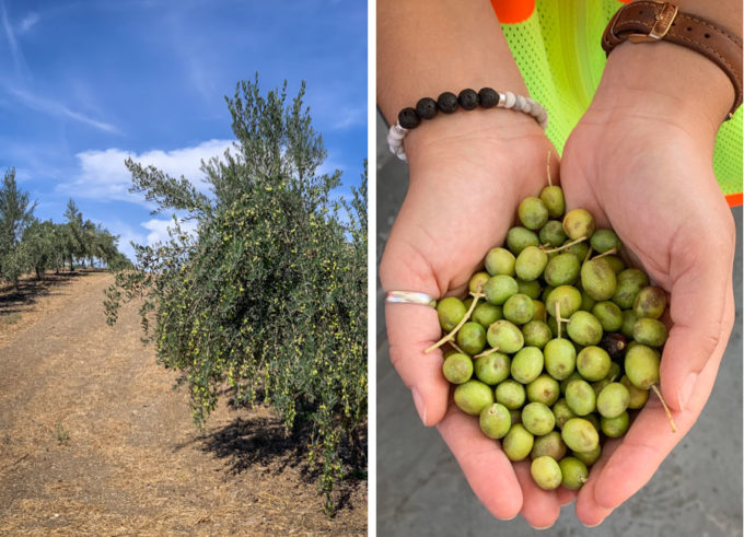 Rows of olive trees and a hand filled with fresh picked olives.