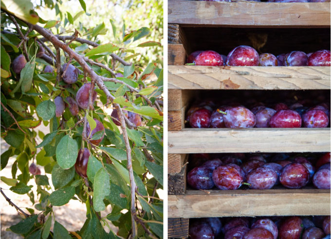 Improved French plum tree and plums on a wooden rack, ready to be dried into prunes.
