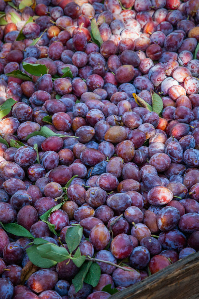 A box filled with Improved French Prunes harvested and ready to be dried into plums.